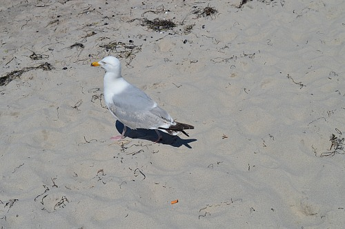 Warnemünde (GERMANY): A Common European Gull is ignoring a cigarette butt at the beach.